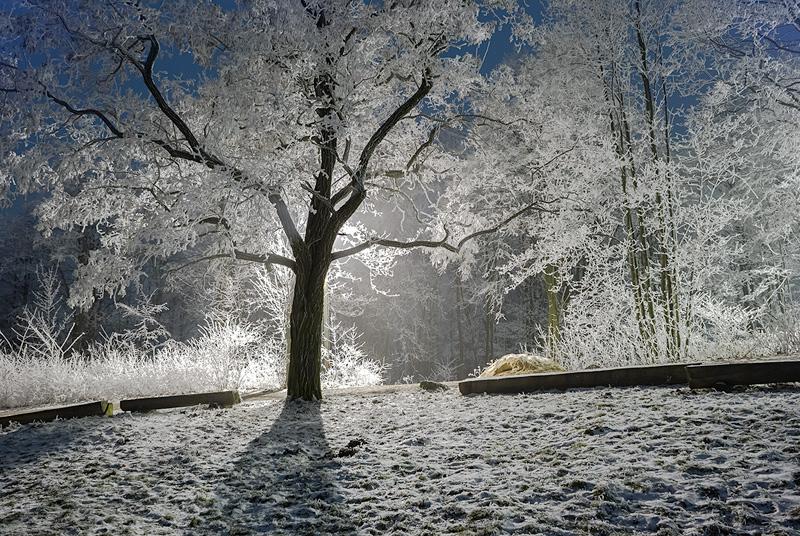 Srebrzyste drzewo w rezerwacie Karczówka.