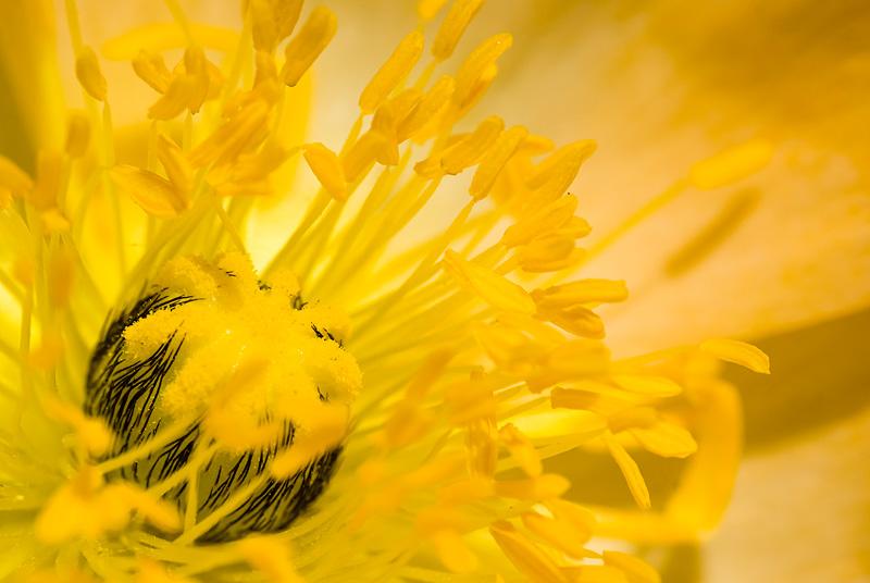 Żółty kwiat w przybliżeniu, Papaver nudicaule.