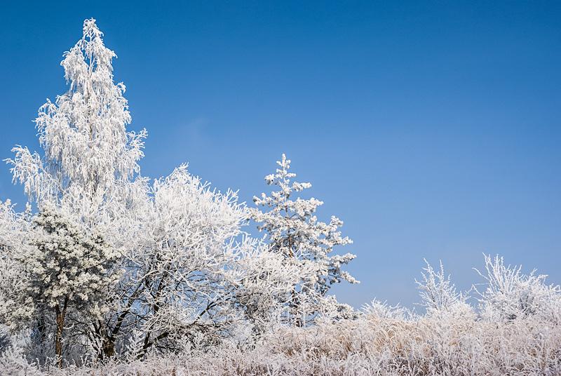 Oszronione, białe drzewa na tle niebieskiego nieba.
