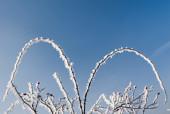 Zimowa dzika róża