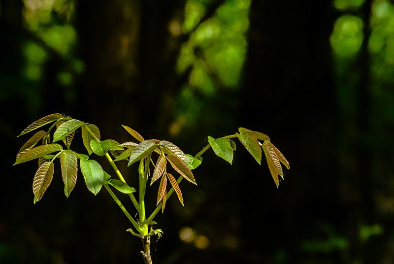 Rozwijające się liście.