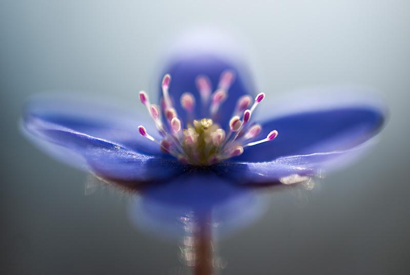Wiosenny kwiat - przylaszczka pospolita (hepatica nobilis).