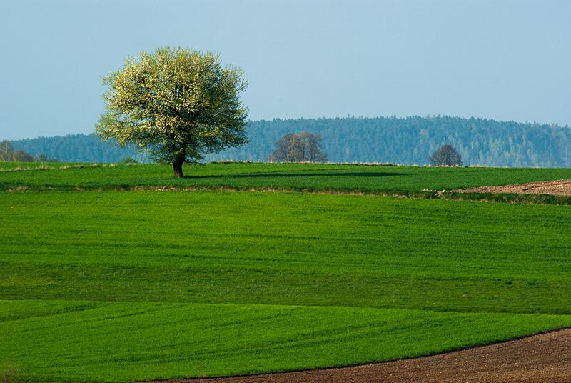 Kwitnące drzewo na polu.