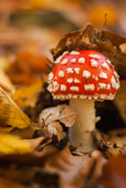 Jesienny muchomor