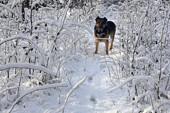 Zimowy wilczur
