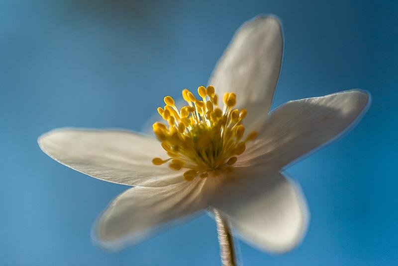 Biały kwiat w słońcu (Anemone nemorosa L.)