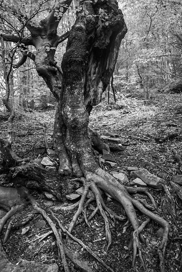 Stare drzewo w lesie w Bieszczadach.