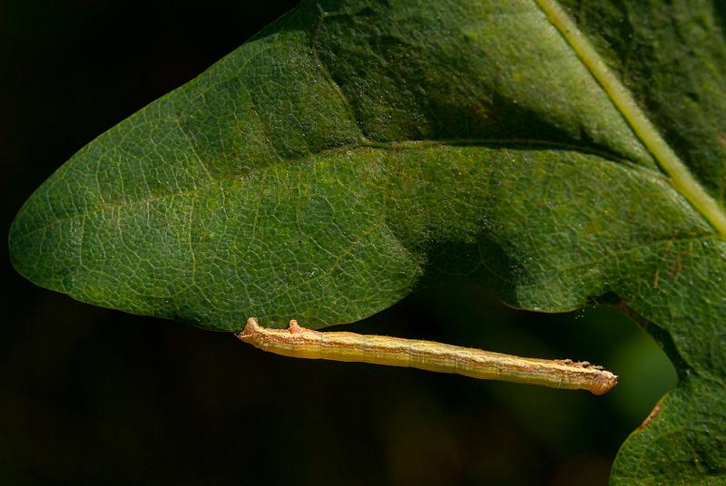 Gąsienica miernikowca (Geomatridae) na liściu dębu.