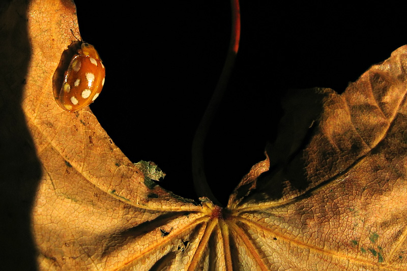 Pokropka (Halyzia Sedecimguttata) na uschniętym liściu.
