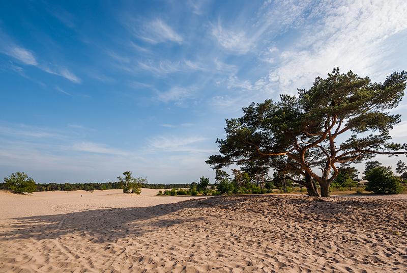 Drzewo na wydmach, Netherlands.