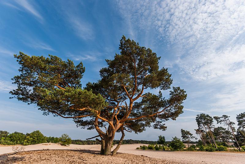 Drzewo na piaszczystych wydmach, Netherlands.
