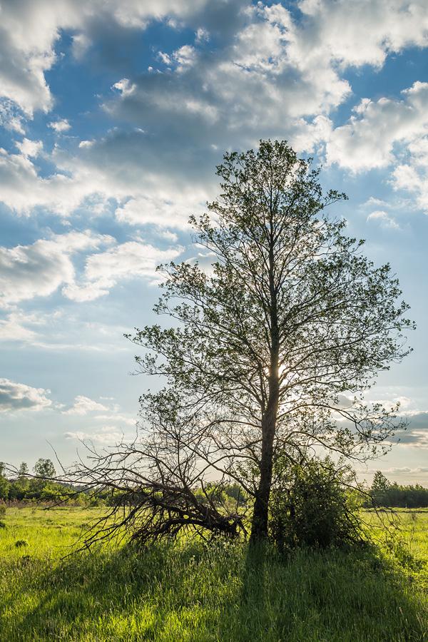 Drzewo na łące w dolinie Sufragańca, Kielce.