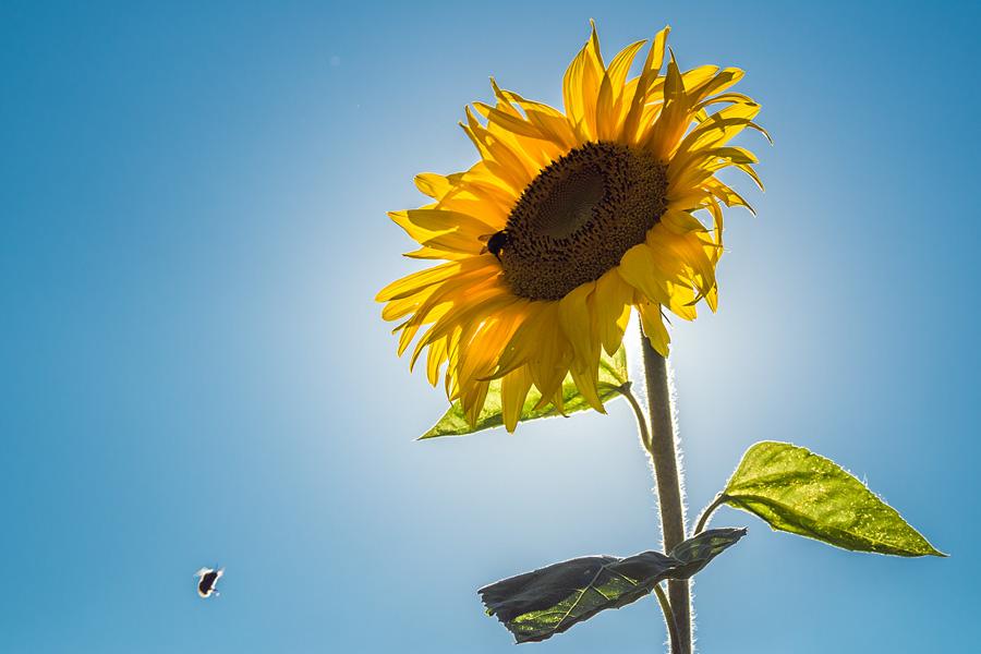 Kwiat słonecznika w letnie popołudnie.